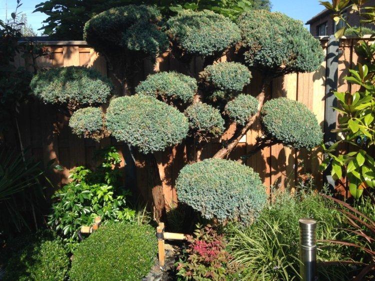 jeneverbes - plantplezier - ivo - harold scheffer