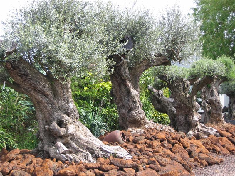 1000 jaar oude olijfbomen - plantplezier