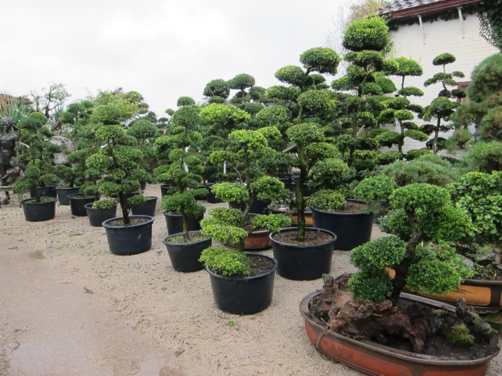 Bonsai - plantplezier - nobilis