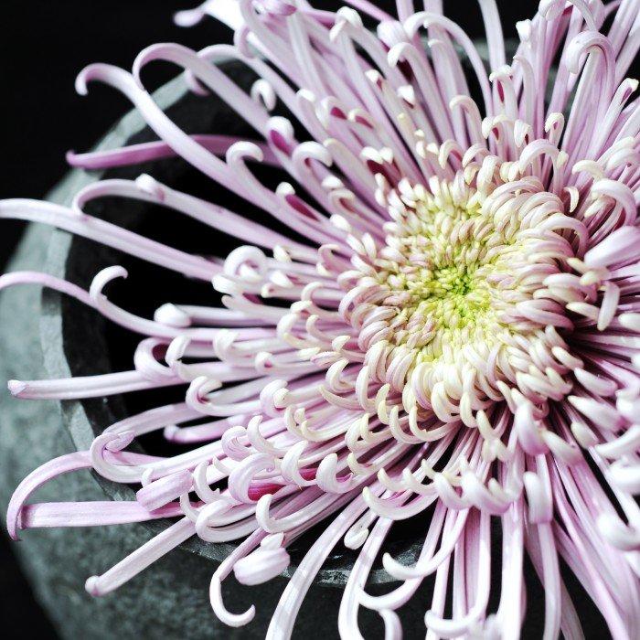 Woonplant oktober: de chrysant - PlantPlezier.nl