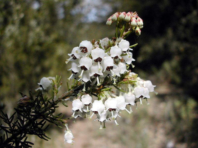 Erica - arborea - plantplezier - snoeitip - ivo