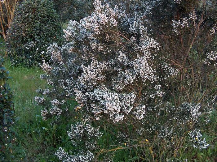 Erica Arborea niet snoeien! - PlantPlezier.nl