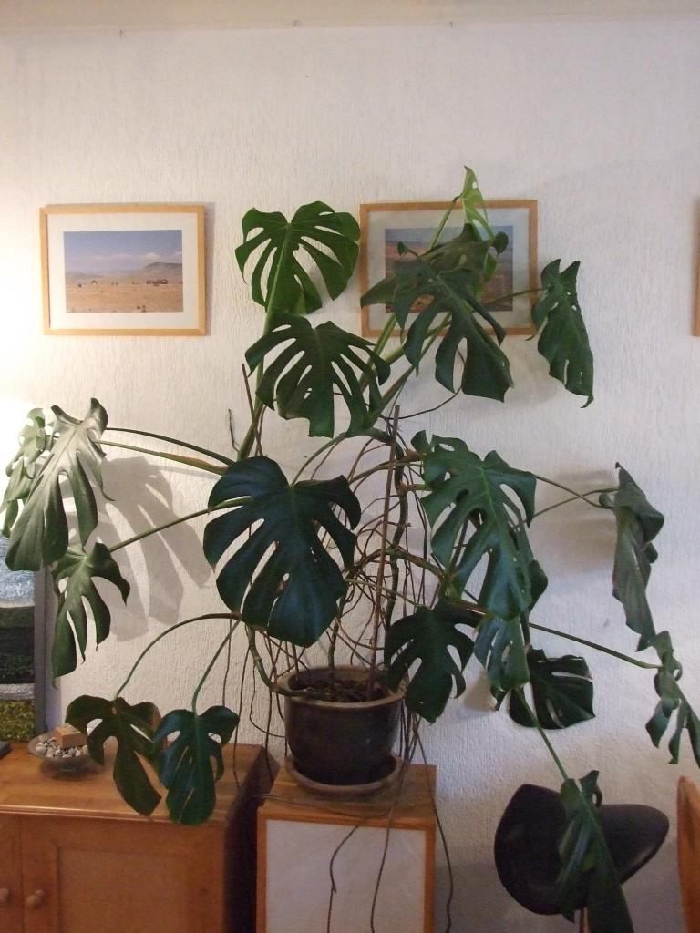 monstera - plantplezier - rachelle - klaassen - plantenasiel
