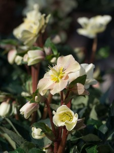 Plantplezier - helleborus - gold - collection - boers - ivo