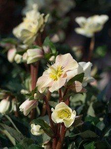 Plantplezier - helleborus - gold - collection - boers - ivo