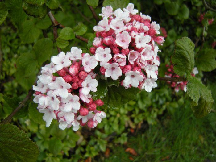 viburnum - plantplezier - tuinplant - oktober