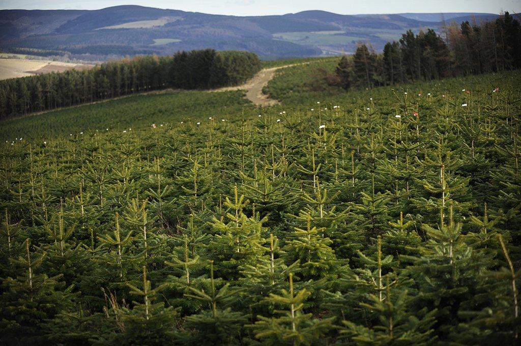 Frank - bos - groene - spotlights - plantplezier - kerstbomen - nordmann - kweker