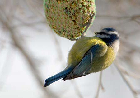 Vetbollen en voer voor vogels - PlantPlezier.nl