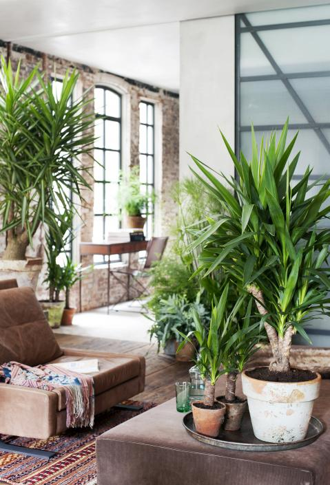 yucca - woonplant - januari - 2015 - plantplezier