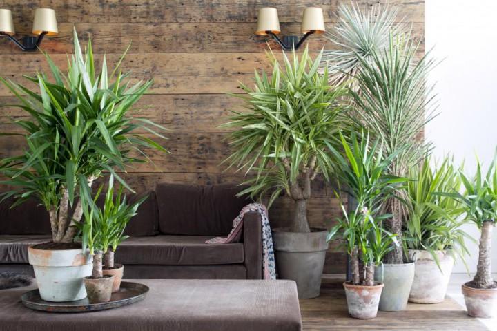 Woonplant van januari: de Yucca - PlantPlezier.nl