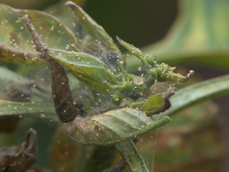 Spint op kamerplanten - PlantPlezier.nl