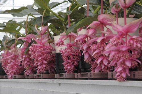 dolce vita - kwekerij atlantis - medinilla - plantplezier