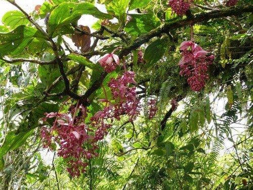 medinilla - magnifica - atlantis - groene spotlights - plantplezier