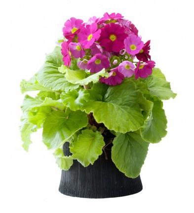 Primula - maand - februari 2015 - plantplezier