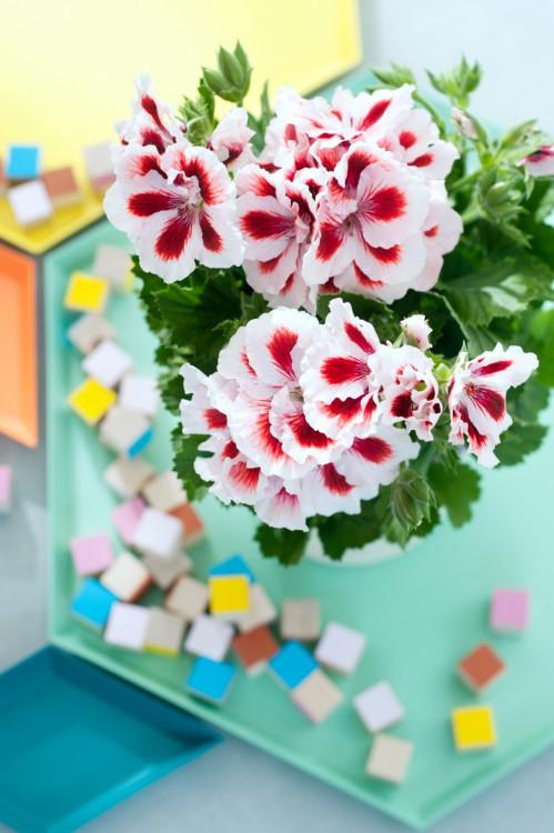 pelargonium - maand - maart - plantplezier