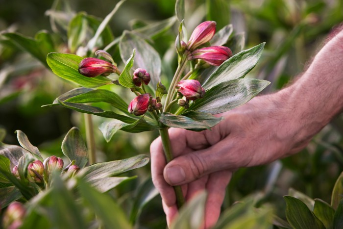 Together2grow - plantplezier - glazen tulp - alstroemeria