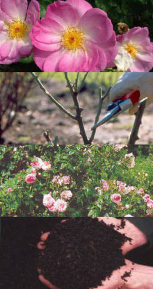 agenda - snoeicursus - rozen - plantplezier