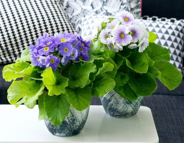Woonplant van februari: de Primula Obconica - PlantPlezier.nl