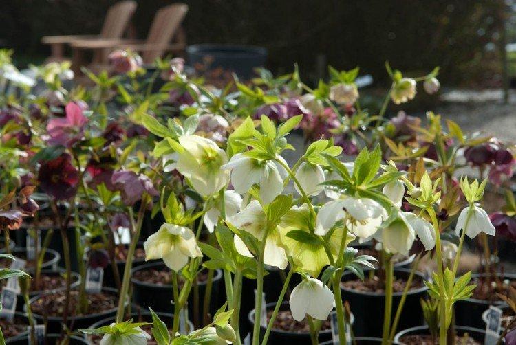 Helleborusdagen - plantplezier - agenda