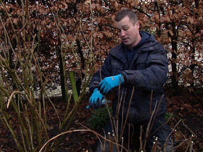 Hortensia's snoeien - PlantPlezier.nl