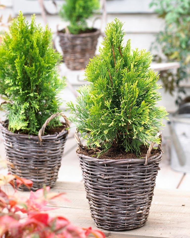 Thuja - Levensboom - plant van de maand - februari - plantplezier