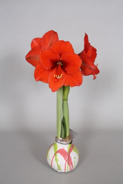 no water flower - spotlights - waxz - vreugdenhil - plantplezier