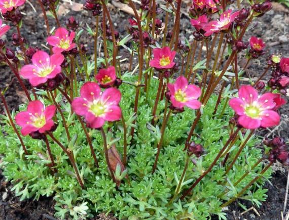 Tuinplant maart: Muurbloemen - PlantPlezier.nl