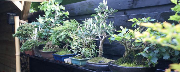 bonsai -  plantplezier