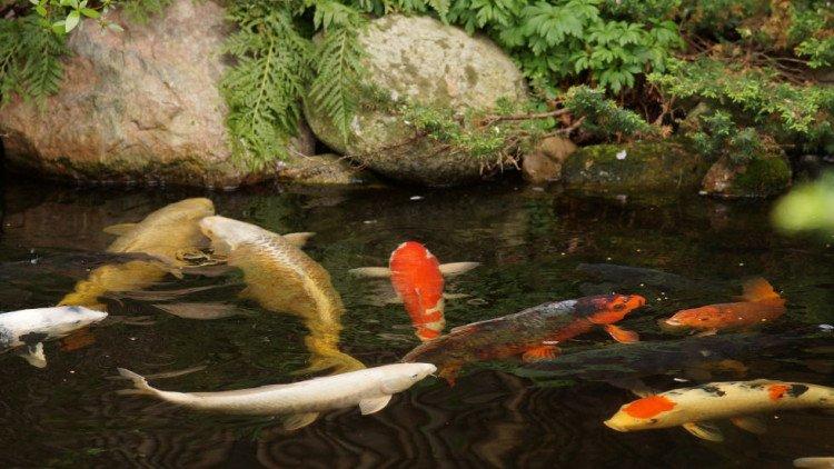 plantplezier - koi - vijver - trots op - japanse tuin