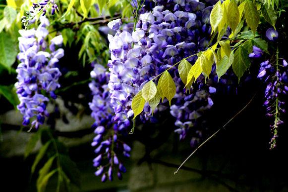 blauwe regen - plaatplezier