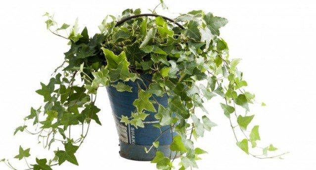 Woonplant van de maand Klimop - PlantPlezier.nl