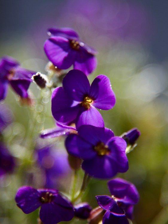 aubretia - plantplezier - plant van de maand - maart
