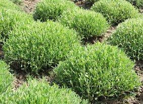 Lavendel snoeien? - PlantPlezier.nl