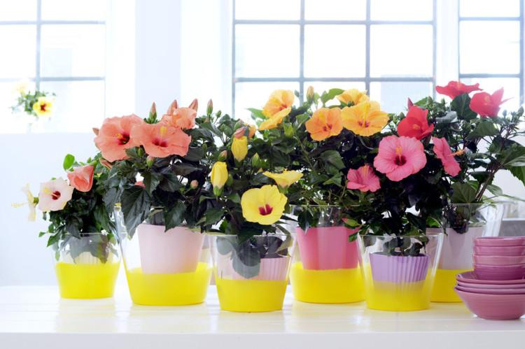 Woonplant van de maand: de Chinese Roos/Hibiscus - PlantPlezier.nl