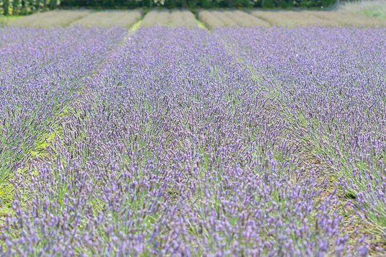 Lavendeltuin - plantplezier - lavendel - gadget