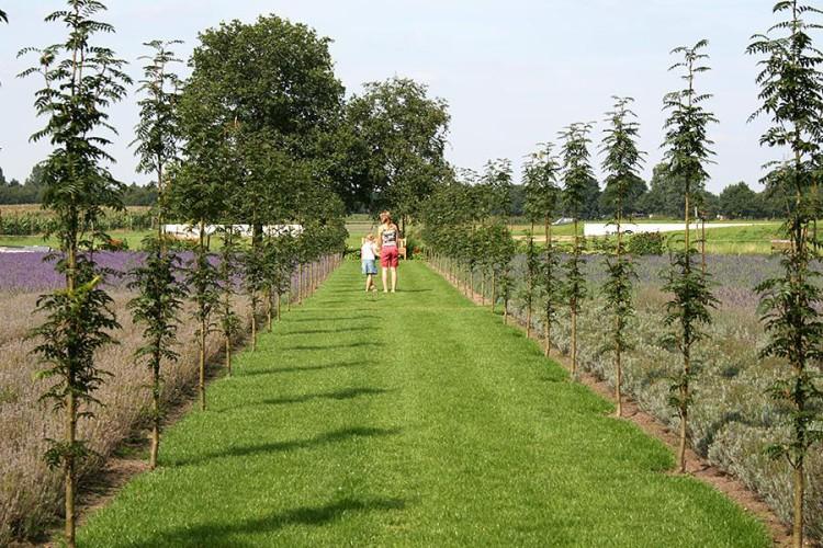 lavendeltuin - plantplezier - lavendel