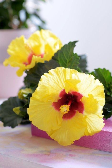 05.hibiscus.7