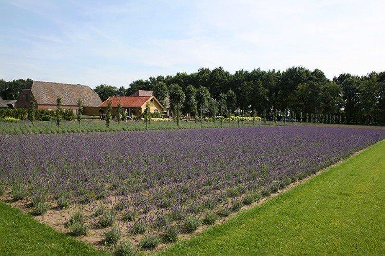 Lavendel Boerderij 'Granny's Bouquet' - PlantPlezier.nl
