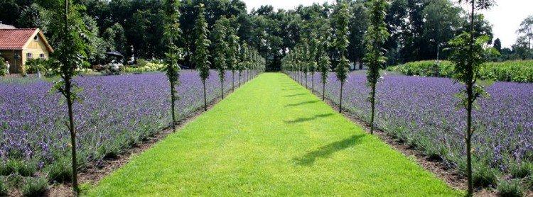 lavendel - plantplezier - gadget