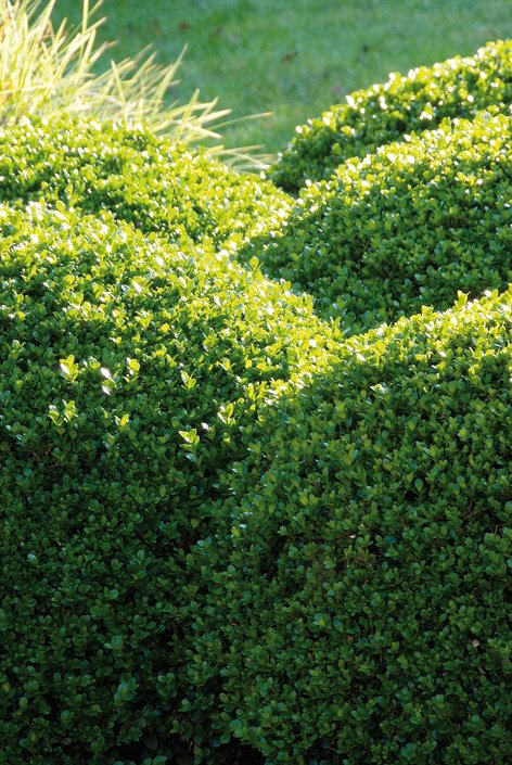 buxuswolken - plantplezier - plant van de maand - april