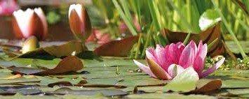 plantplezier - waterlelie - acties