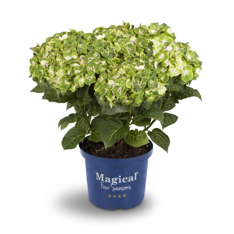 plantplezier - hydrangea - kolster