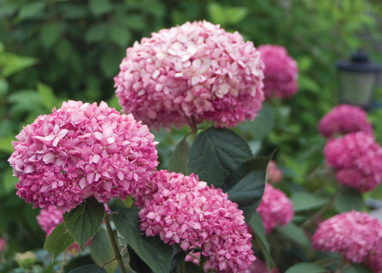 plantplezier - pink annabelle - actie - stong annabelle - hortensia - hydrangea