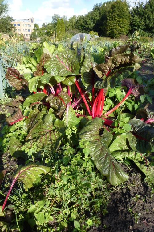 rode snijbiet - plantplezier - trots op