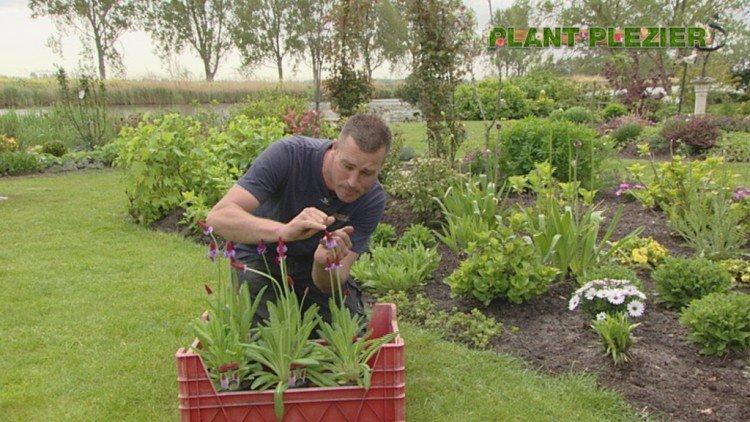 Primula vialii - PlantPlezier.nl