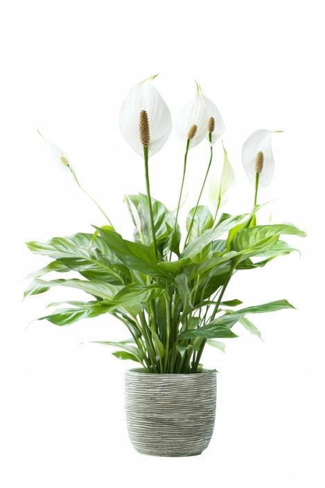 06.spathiphyllum.11