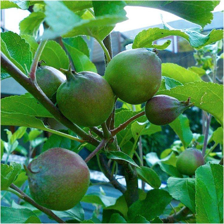 junirui - appelboom - tip - plantplezier