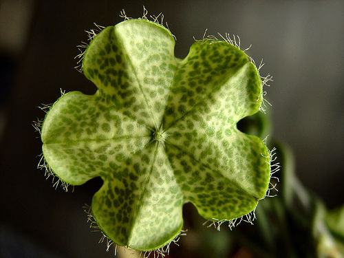 bloem - ceropegia - plaatplezier - tip - ivo