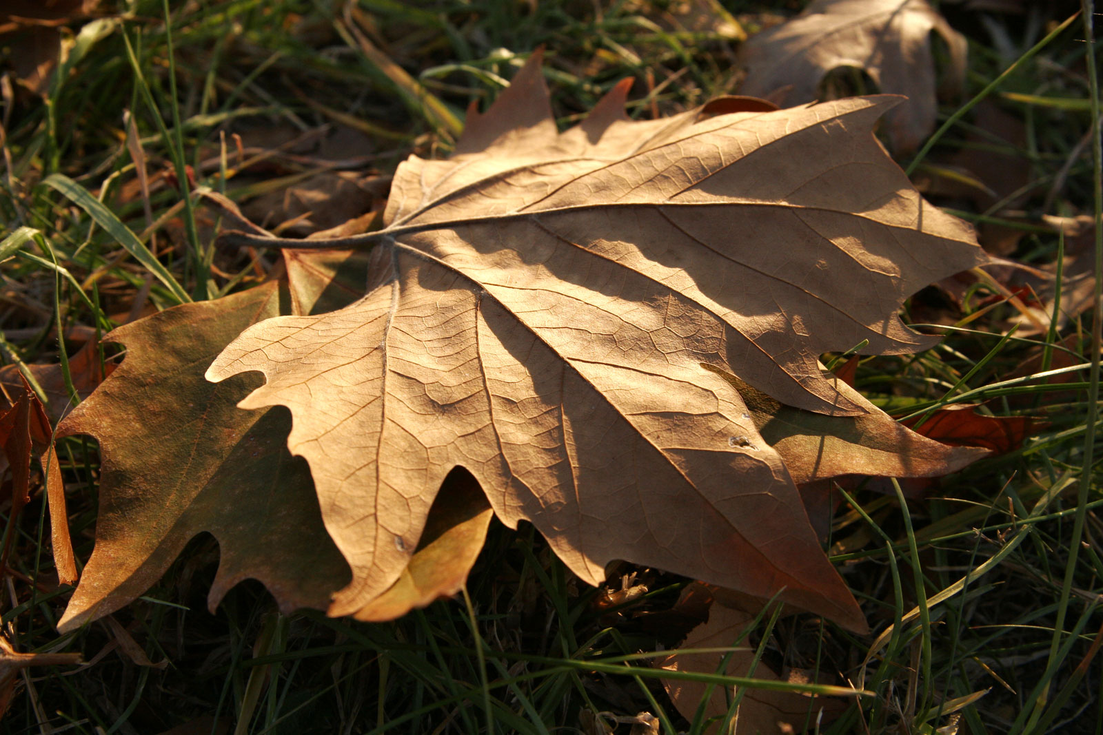 Autumn_leaf