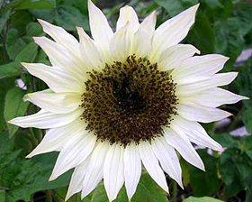witte zonnebloem - plantplezier - ivo plant van de maand
